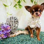 トイプードル&チワワ&ポメラニアンのカット 柴犬のシャンプー