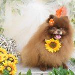 プードルのカット&ポメラニアン・ダックス・柴犬のシャンプー