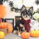 チワワ・柴犬・ミックス犬のシャンプー&カット