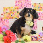プードル・ミニピン・ミックス犬・ダックスのシャンプー&カット