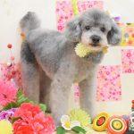 21プードル・キャバリア・ミックス犬のシャンプー&カット