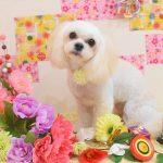 ミックス犬・チワワ・プードル・パグのシャンプー&カット
