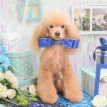 プードル・ミックス・柴犬のシャンプー&カット