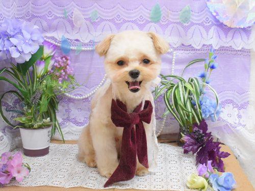 チワワ・柴犬・ジャックラッセル・MIX・ダックスのシャンプーカット