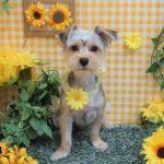 シュナ・ダックス・ボストン・パグ・ミックス犬のシャンプーカット