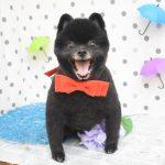 トイプードル・ミックス・柴犬・ポメラニアンのシャンプーカット